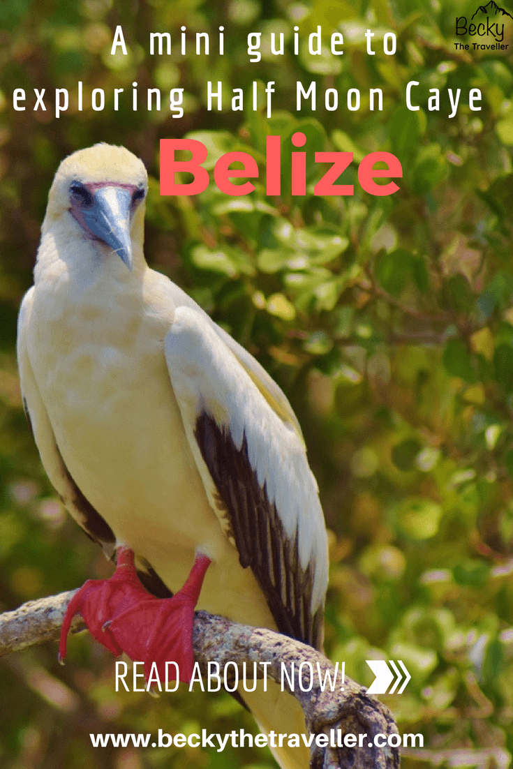 Half Moon Caye Belize - red-footed Booby