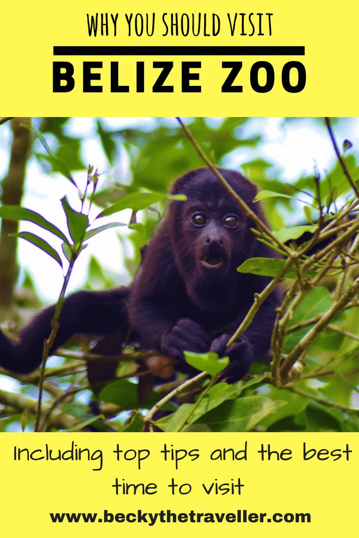 Belize Zoo howler monkey in trees