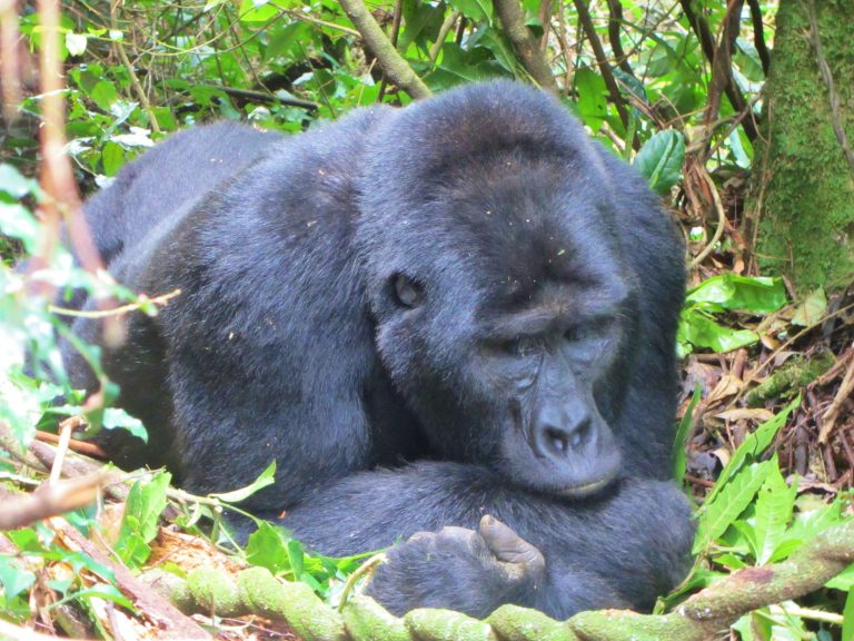 The ultimate wildlife experience in Uganda - Gorilla Trekking