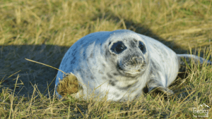 Seal pup at Donna Nook Seal Colony in Lincolnshire