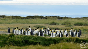 King Penguins in Chile - Where to see King Penguins in Chile. Is it just me that's a little bit in love with penguins? Read about my experience in Patagonia visiting these beautiful and funny birds. Includes top tips on visiting and also some of my favourite photos from my trip.