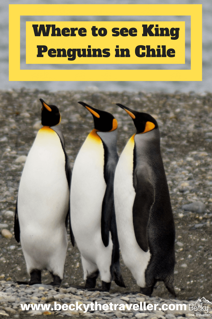 King Penguins in Chile - Where to see King Penguins in Chile