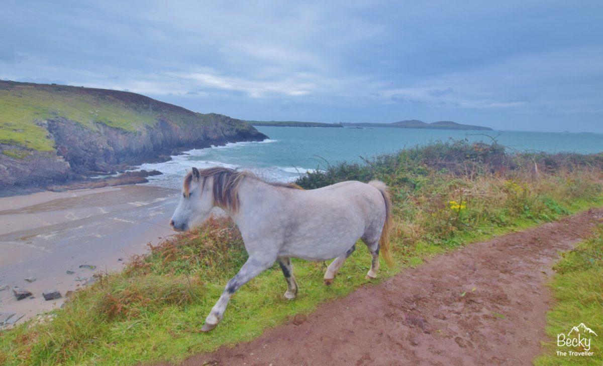 Whitesands Bay to St Davids Head - Wild ponies on Pembrokeshire Coast