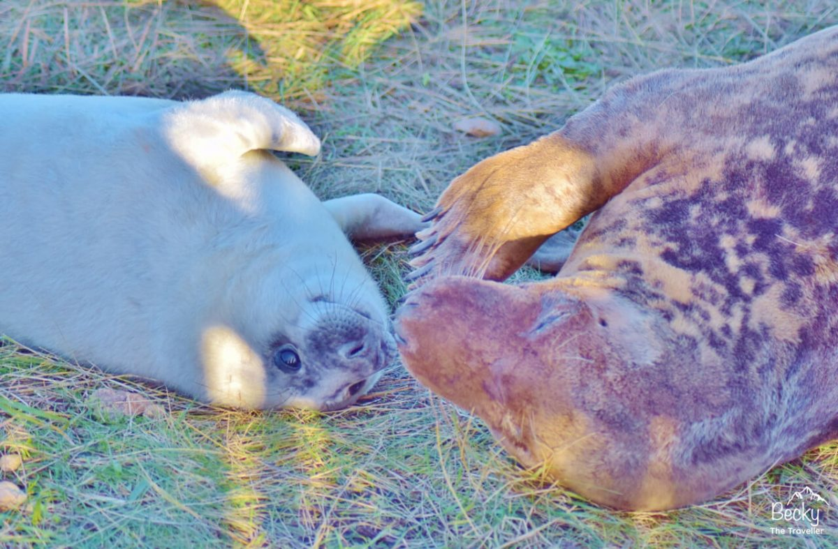 Seal mum + pup lying right next to the fence
