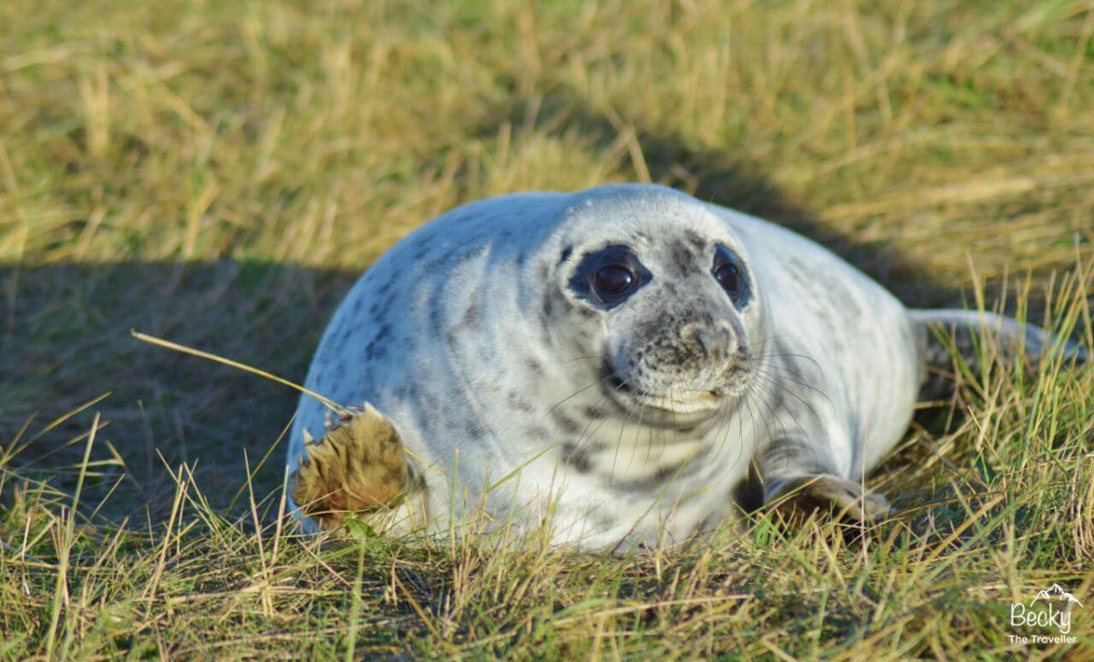 Seal pup at Donna Nook