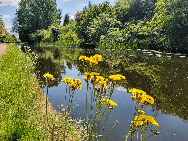 Field Sow-thistle growing by the Erewash Canal