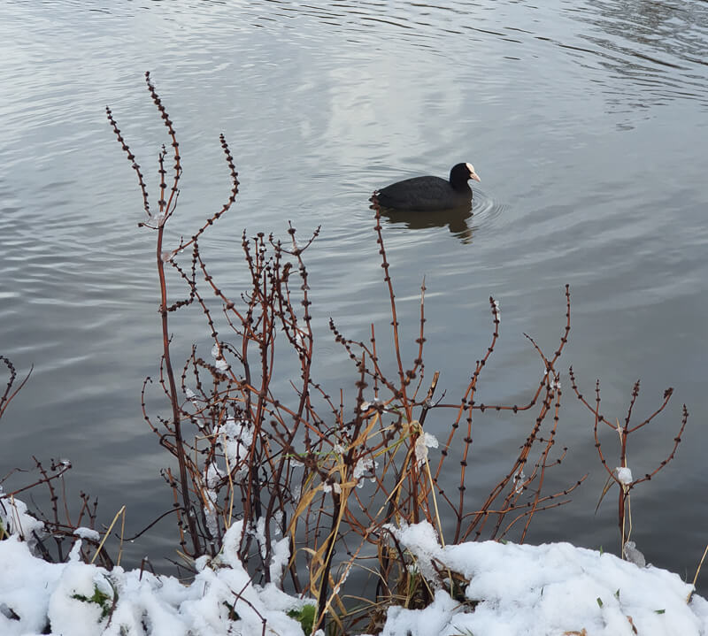 Coot at Bulwell Hall Park Nottingham