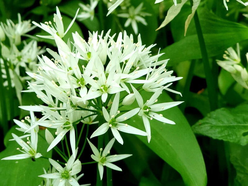 Wild garlic flowers at Bulwell Hall Park