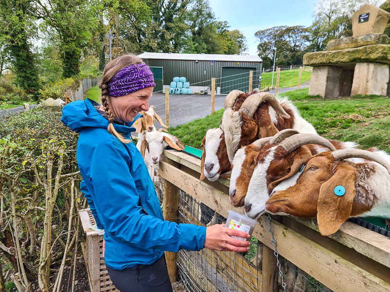 Becky is feeding the goats